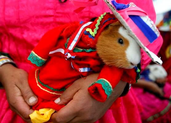 На фестивале Huacho в качестве угощения предлагают морских свинок,