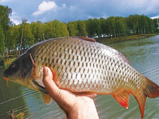 Полезные свойства речной рыбы