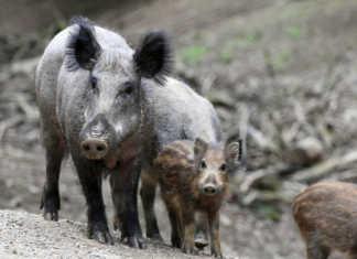 Методе радикального сокращения популяции диких кабанов, предложили ученые из австралийского Института по борьбе с болезнями животных.