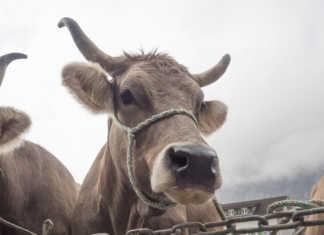 Танзания готова принять инспекции из соседних государств, таких как Намибия, Зимбабве, Эсватини, Ботсвана, Ангола, Малави и Южная Африка, чтобы возобновить экспорт красного мяса на эти рынки. В стране впечатляющее поголовье скота: 33,4 миллиона голов крупного рогатого скота, 21,29 миллиона коз и 5,65 миллиона овец, но в 2019 году она потеряла доступ к рынкам на Ближнем Востоке и в Африке из-за многочисленных вспышек ящура.