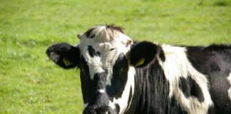 Племенные хозяйства Кировской области увеличили в 2020 году продажи крупного рогатого скота на 30% - до 5 200 голов, более половины реализованы за пределы региона, сообщил ТАСС заместитель Председателя Правительства региона Алексей Котлячков.