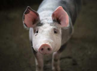 Южная Корея сократила импорт свинины на 5% за первые 4 месяца года, но ожидается, что спрос вырастет из-за множества факторов.