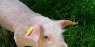 шаг направлен на предотвращение распространения болезни на домашнее стадо свиней